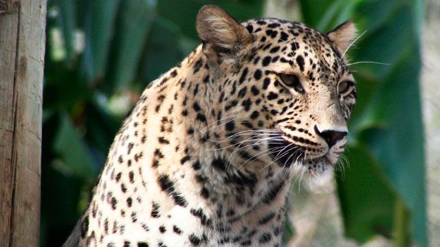 Passatempo-zoo-leopardo-da-persia