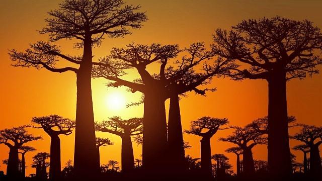 Madagascar-Baobab-Acp-Viagens