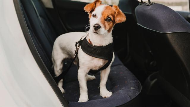 ACP - Como viajar com animais no carro em segurança